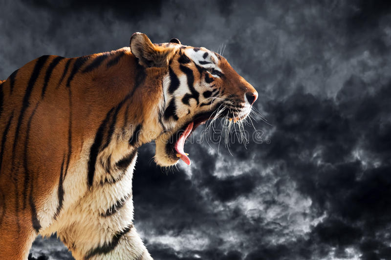 Wild tiger roaring during hunting. Cloudy black sky stock image