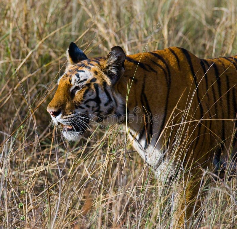 Wild tiger walking on grass in the jungle. India. Bandhavgarh National Park. Madhya Pradesh. stock photo