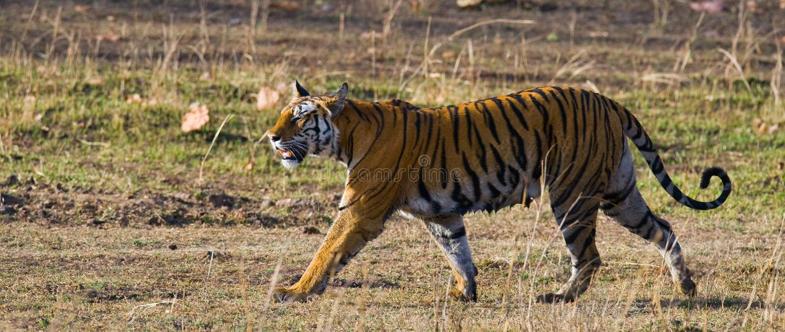 Wild tiger walking on grass in the jungle. India. Bandhavgarh National Park. Madhya Pradesh. An excellent illustration stock image
