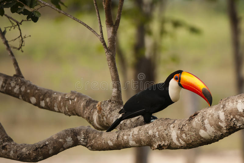 Wild Toco Toucan on Large Branch. A brightly colored toco toucan contrasts nicely against the beige and brown mottled lichen covered large tree branch royalty free stock image