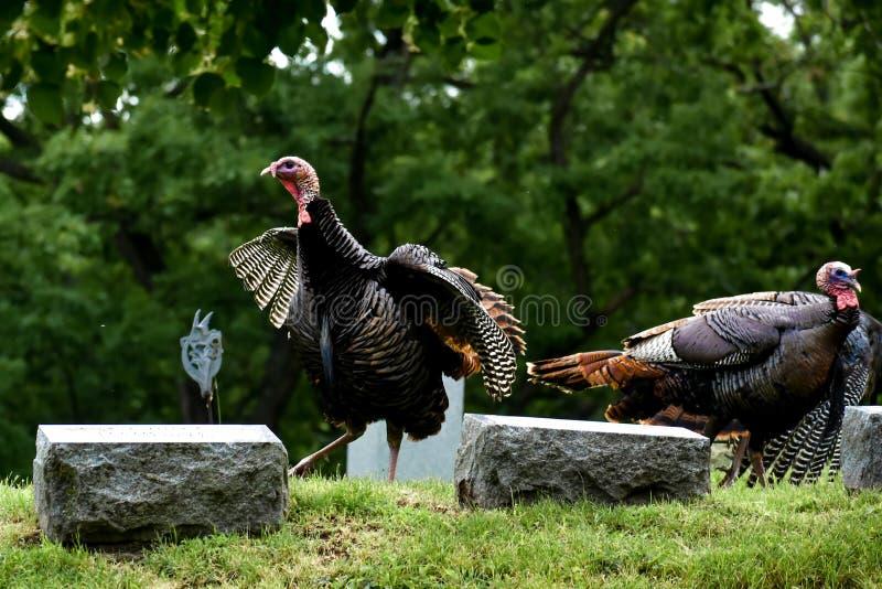 Wild Turkeys in Cemetery in Lake Geneva, Wisconsin royalty free stock photo