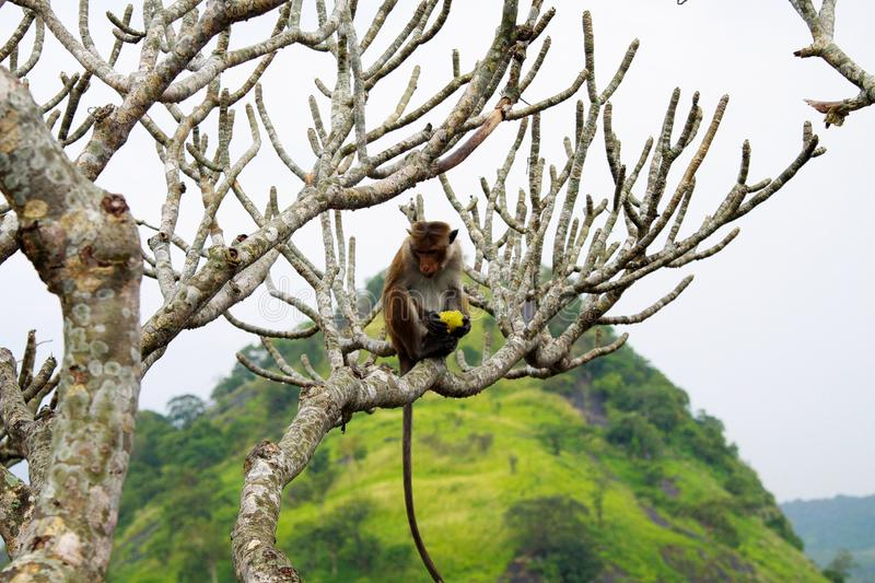 Wild toque macaque monkey Macaca sinica sitting on a branch of bare tree with blurred green hill peak in the background, Sri royalty free stock photos