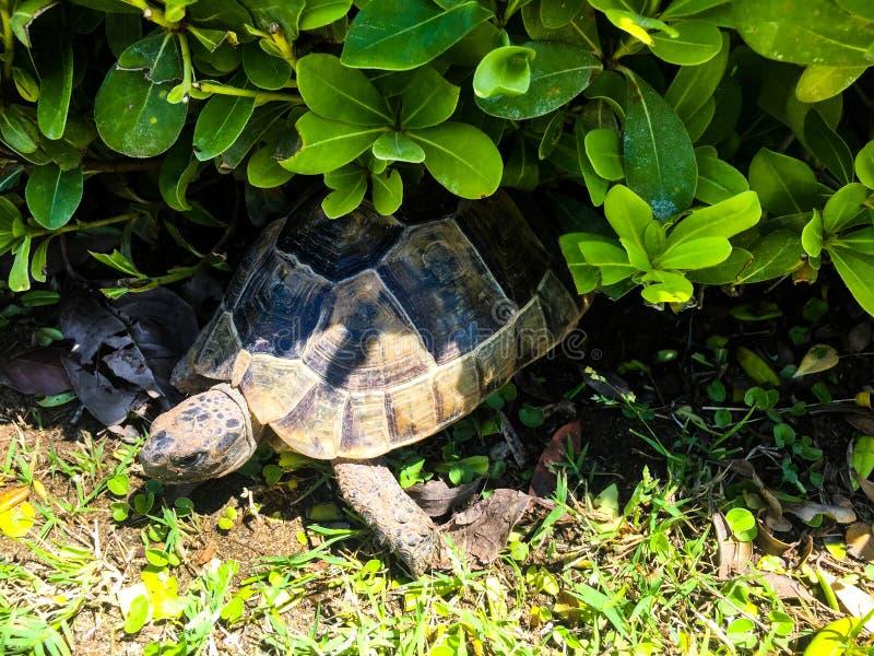 Wild Tortoise stock photography