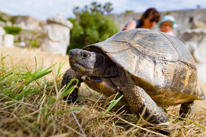 Wild tortoise. Mom with little daughter looking at wild tortoise walking in ancient ruins royalty free stock images