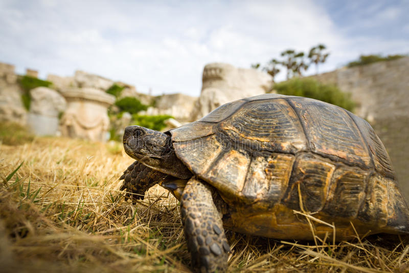 Wild tortoise. Walking in ancient ruins stock images
