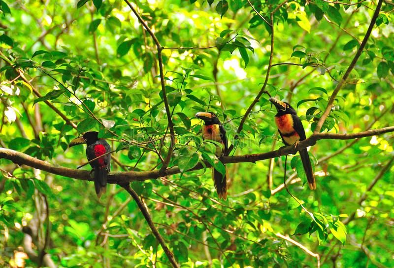 Download Wild Toucans, Guatemala stock photo. Image of reserve - 16511698