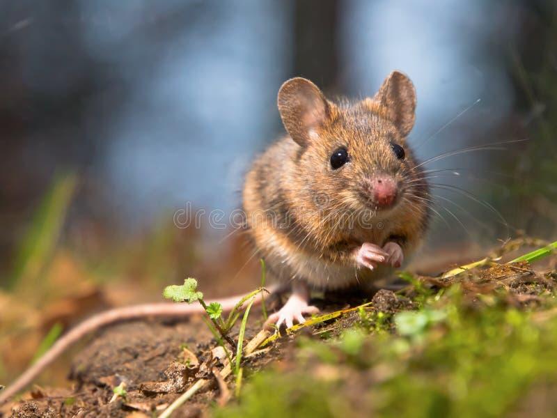wild trä för mus royaltyfri bild
