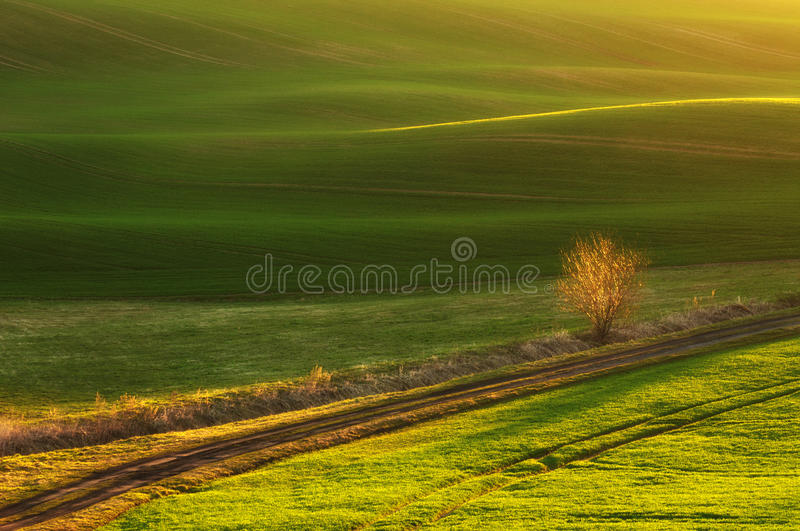 Wild tree against the undulating fields royalty free stock image