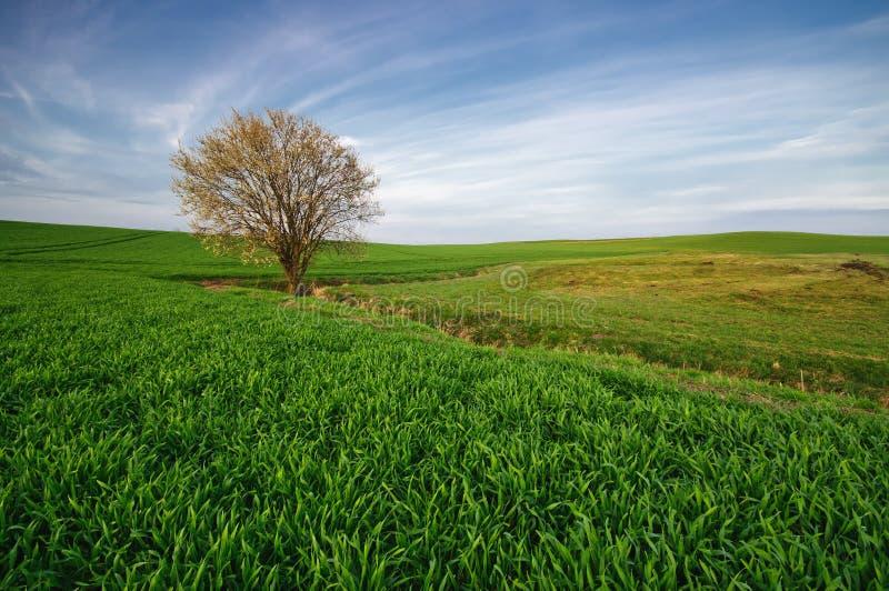 Wild tree against the undulating fields stock image
