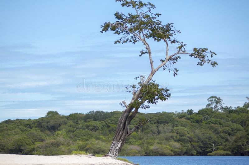 Wild tree and sand beach on the Amazon River in Manaus, Brazil royalty free stock photos