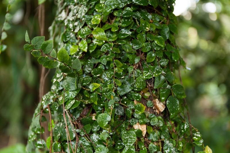 Wild tropical green liana on a tree stock photography