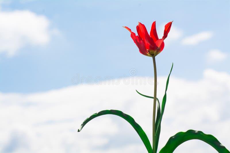 Wild tulip flower. Mountain wild tulip flower on sky background royalty free stock images
