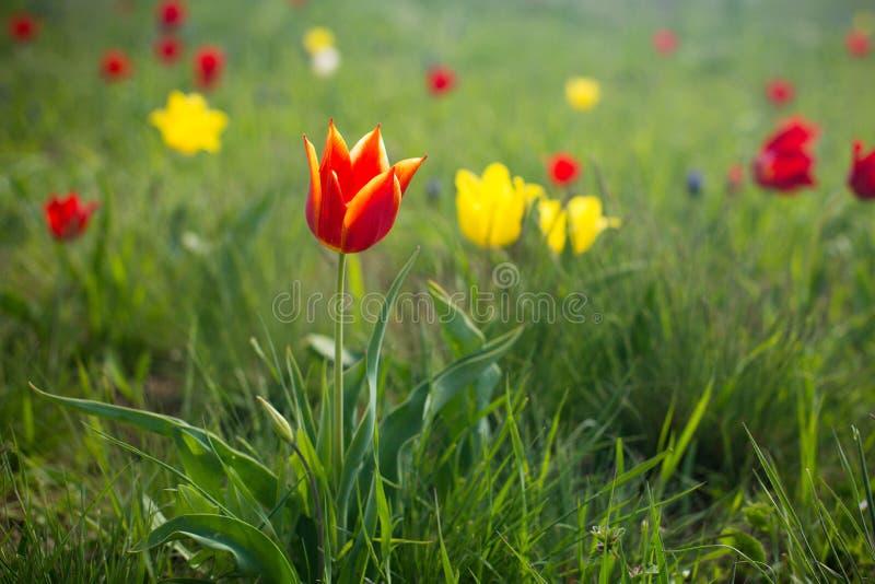 Wild tulips Shrenka royalty free stock photography