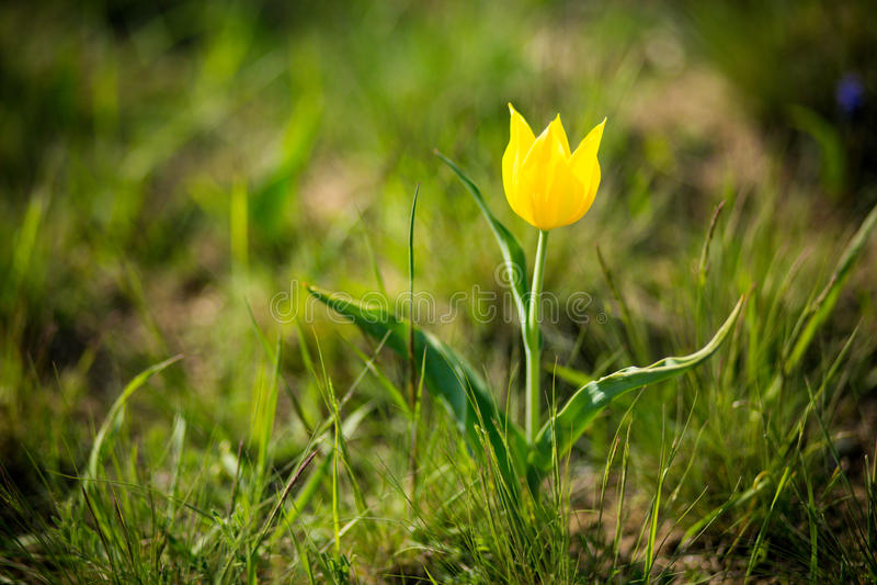 Wild tulips Shrenka stock image