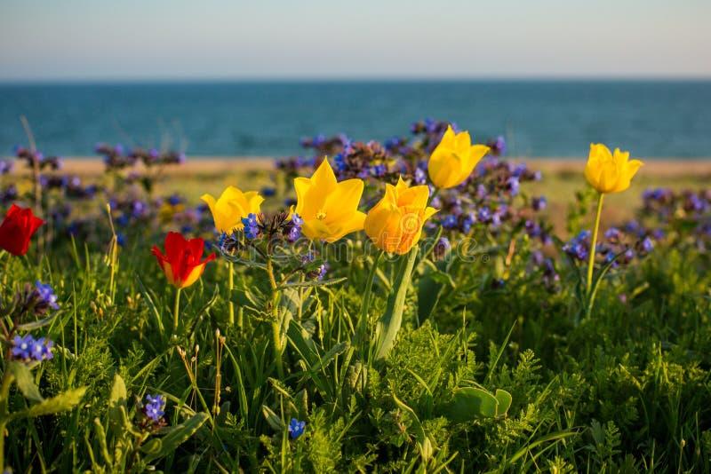 Wild tulips Shrenka royalty free stock image