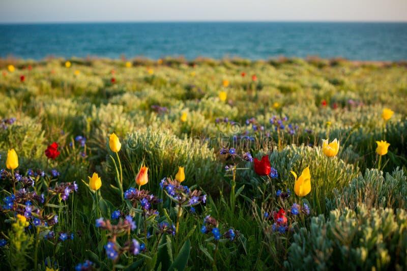 Wild tulips Shrenka stock photos
