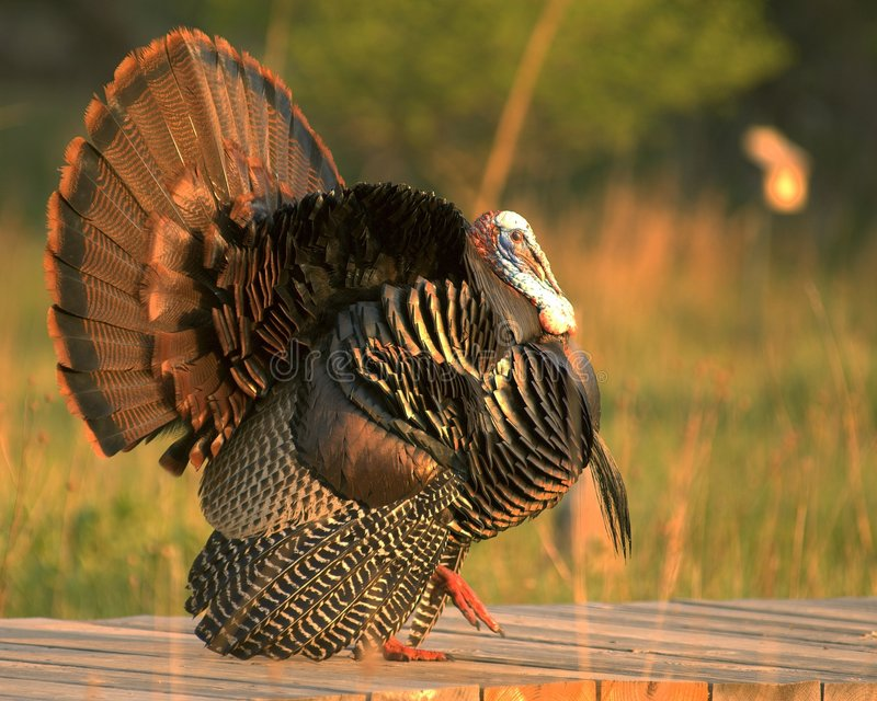Download Wild Turkey 2 stock photo. Image of thanksgiving, drake - 767996