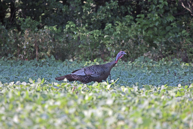 A Wild Turkey in the Bean Field royalty free stock image