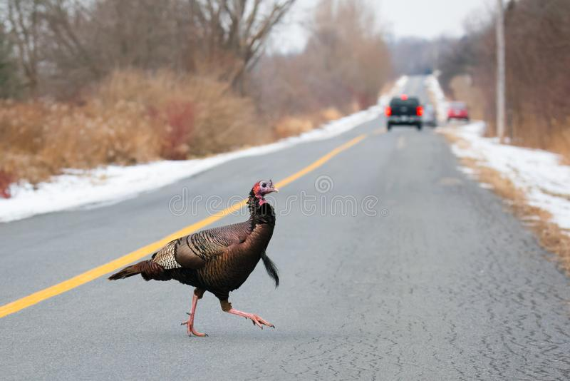 Wild Turkey Crossing The Road, Whitby, Ontario stock photography