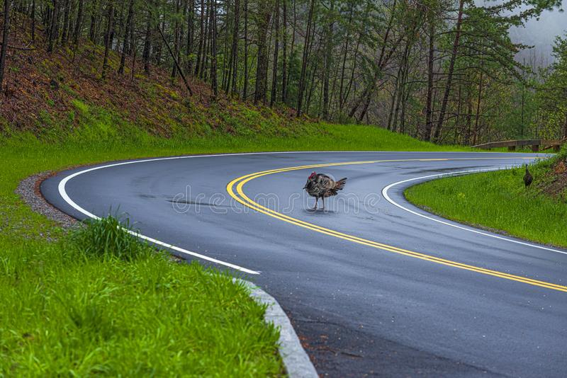 Wild Turkey Crossing Tennessee Mountain Road royalty free stock photo