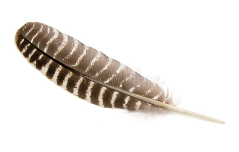 Wild Turkey Feather. A Wild Turkey feather isolated on white