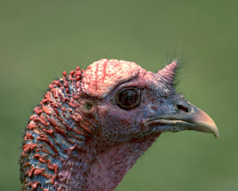 Wild Turkey Head royalty free stock photos