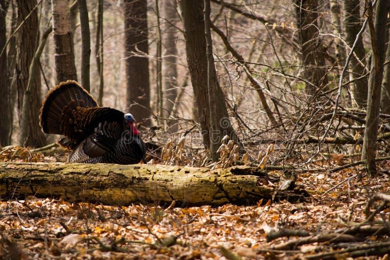 Wild turkey royalty free stock image