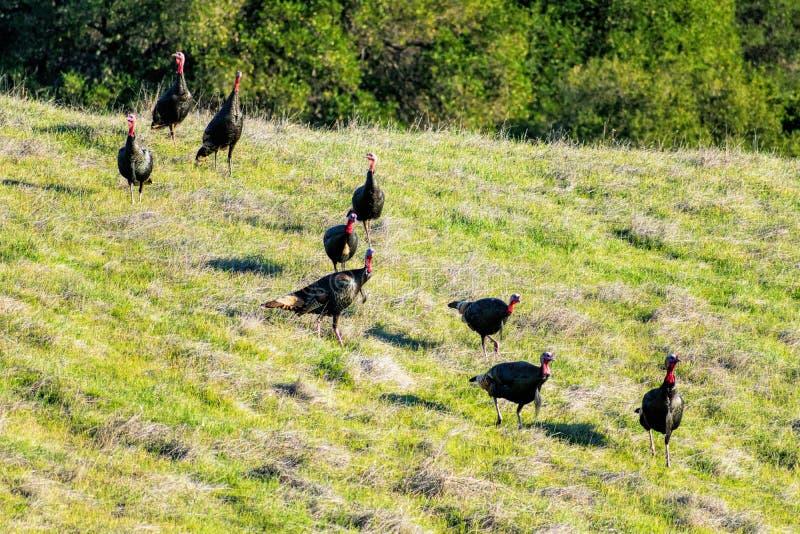 Wild turkey rafter feeding on green hill stock photo