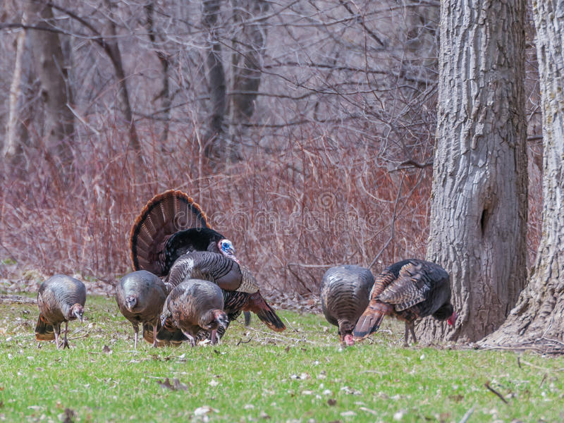 Wild Turkey. Strutting for a mate in the spring mating season stock photography