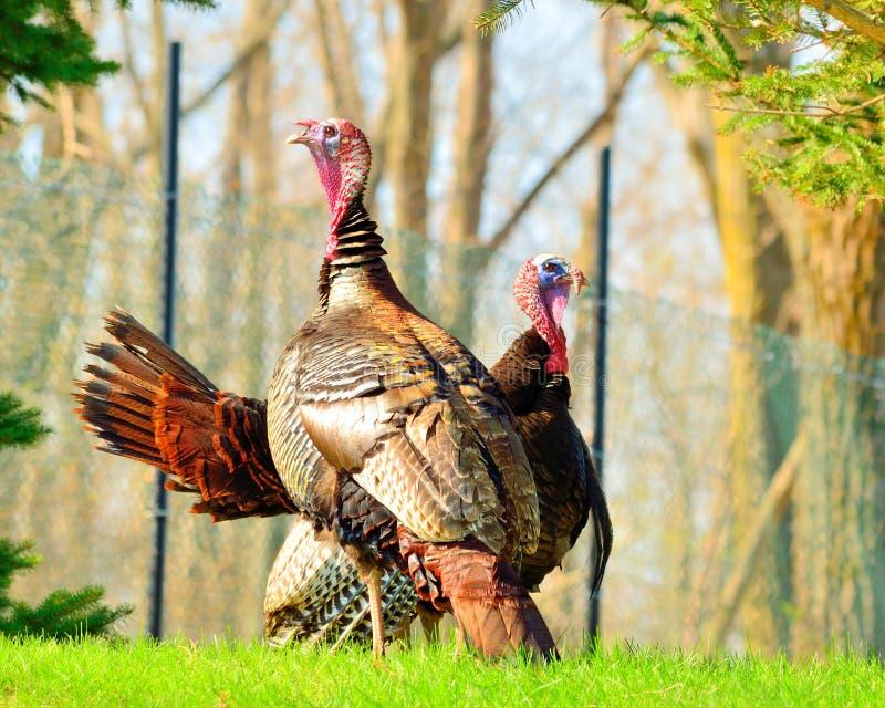 Download Wild Turkey stock image. Image of strutting, gobbler - 30655505