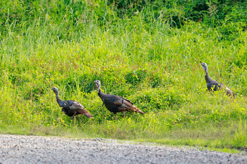 Wild turkey walks along a gravel road within the Bald Knob National Wildlife Refuge in Bald Knob. Wild turkey, Meleagris gallopavo, walks along a gravel road stock image