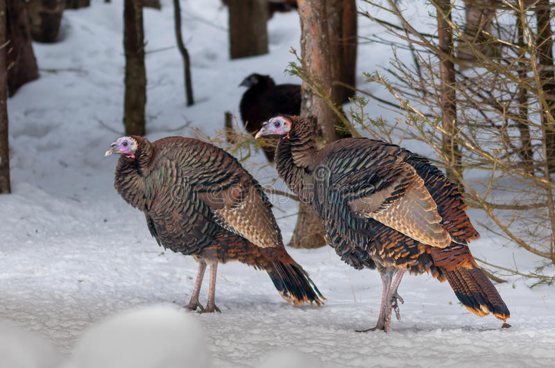 Wild turkey in the winter forest royalty free stock photos
