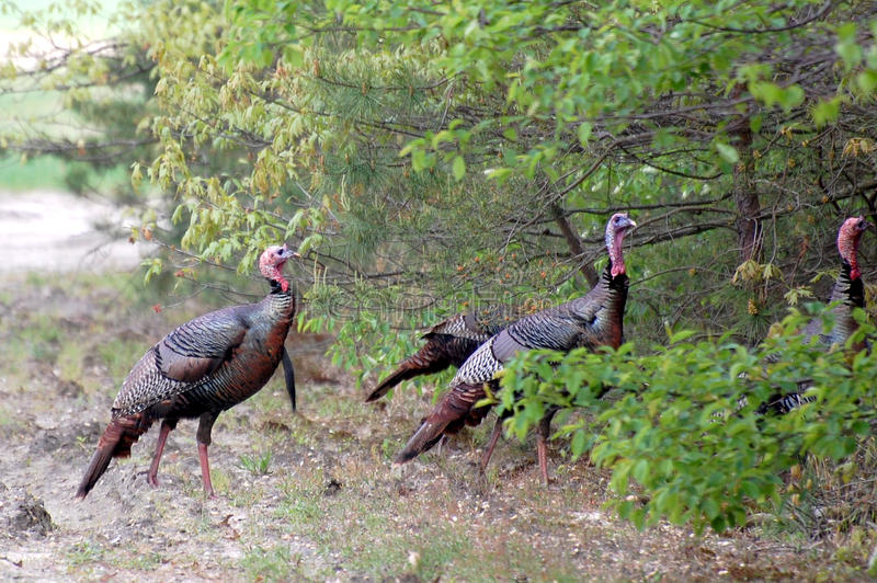 Download Wild Turkeys stock image. Image of birds, avian, gobble - 28866233