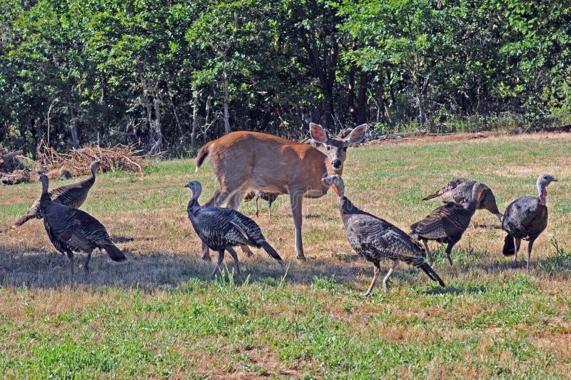Wild Turkeys And Deer Stock Images