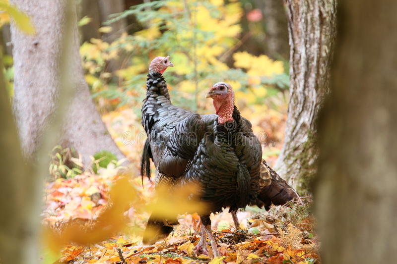 Wild Turkeys Fall Picture royalty free stock image