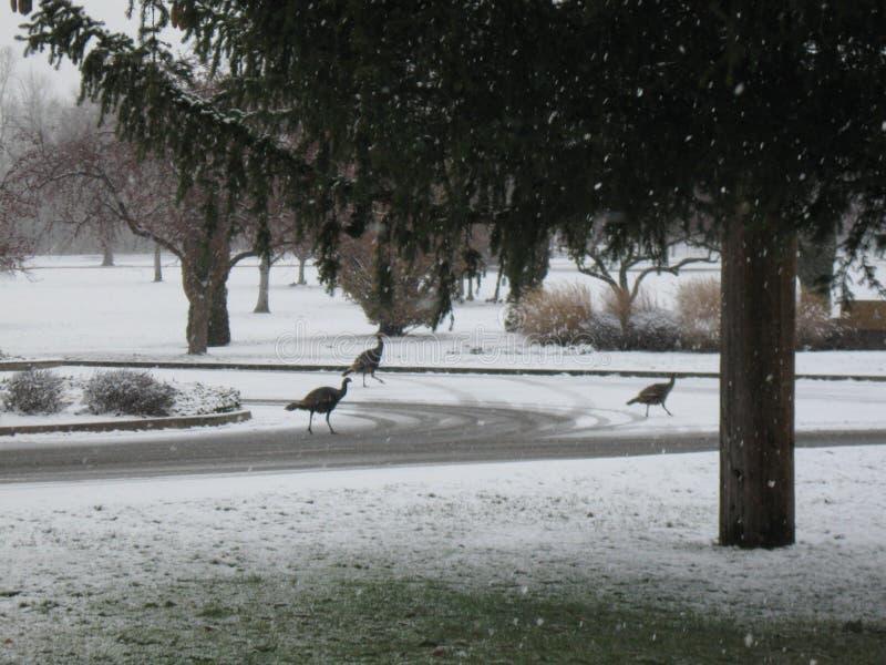 Download Wild Turkeys Morrison Park Boise Idaho Stock Image - Image of meadow, 2015: 81116207