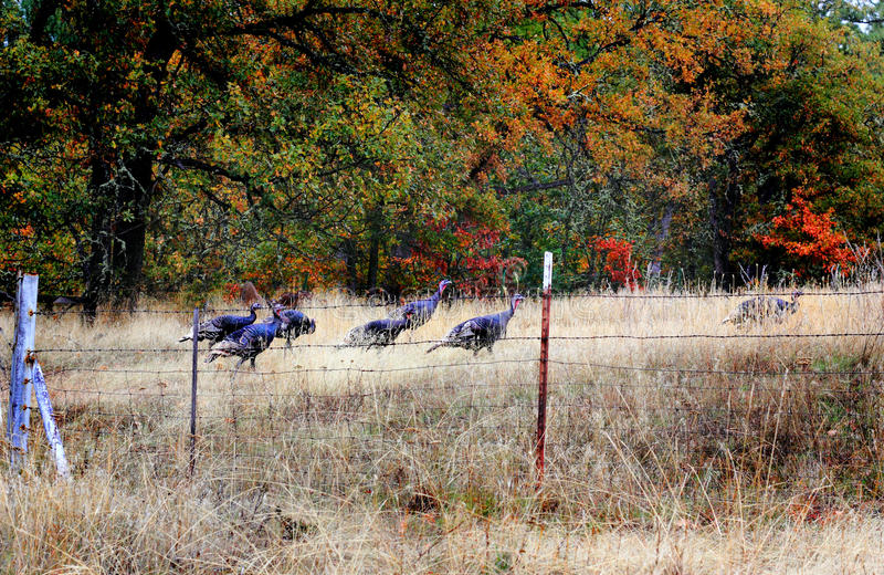 Wild Turkeys. A small flock of wild turkeys in a grassy meadow behind a barbedwire fence royalty free stock photos