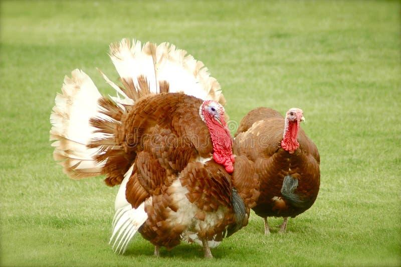 Two wild turkeys royalty free stock photography