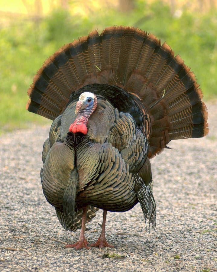 Wild Turkije 3