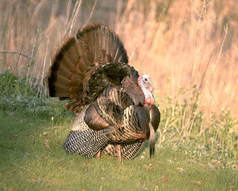 Wild Turkije 4 royalty-vrije stock afbeeldingen