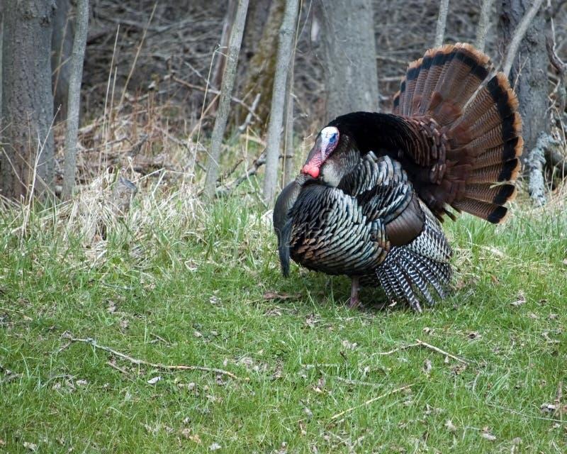 Wild Turkije Strutting royalty-vrije stock foto