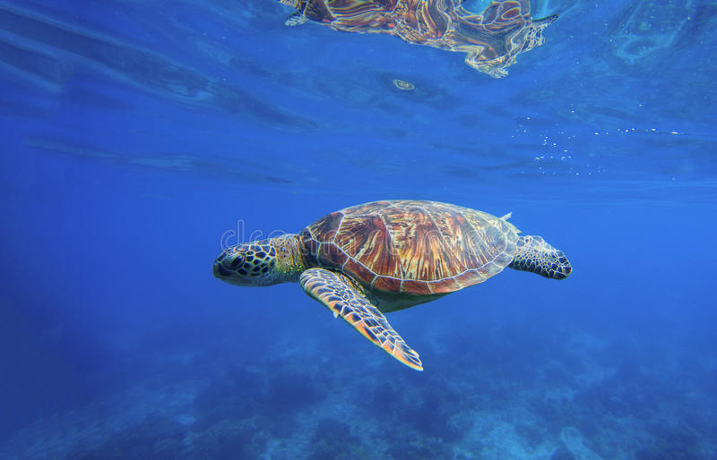 Wild turtle swimming underwater in blue tropical sea. Sea turtle in water. Underwater photo with tortoise. Exotic island seashore environment in tropical lagoon stock photos
