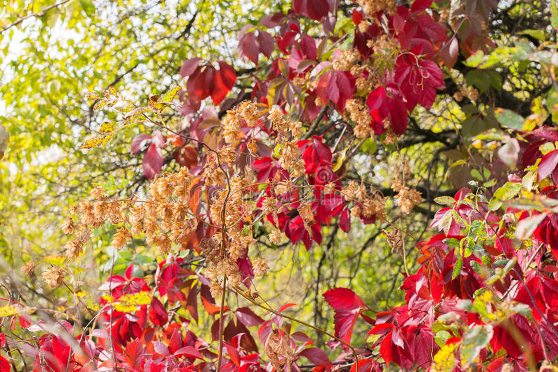 Wild twining vine and hops. Autumn composition of grapes and hops. royalty free stock image