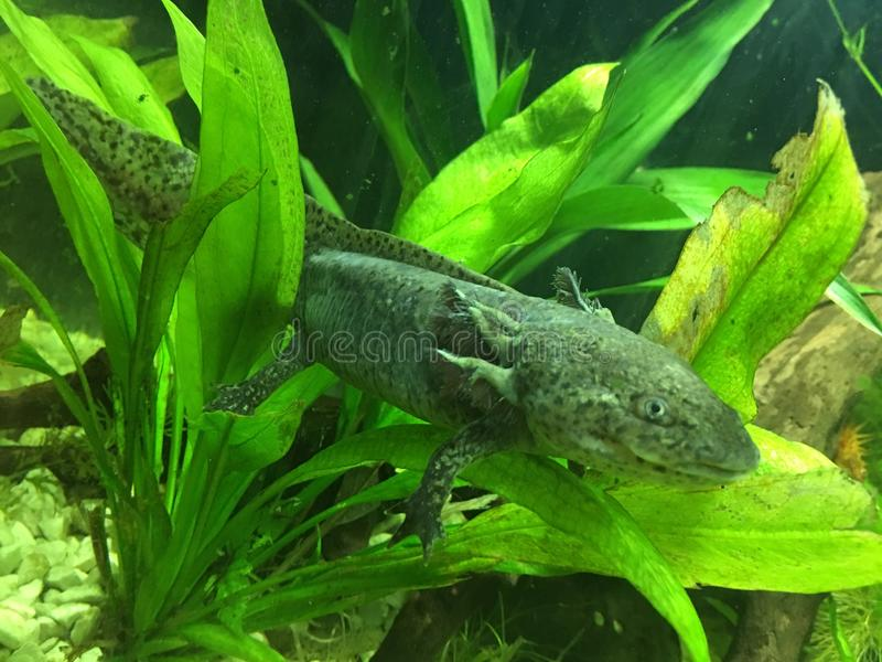 Wild-Type/Leucistic Kreuzung Axolotl stockbilder
