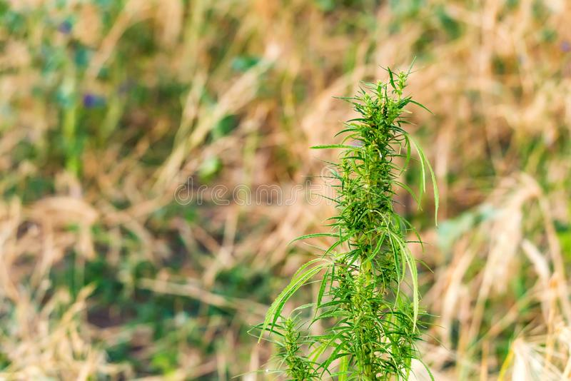 Wild cannabis in field. Wild uncultivated green cannabis grows in field stock photos