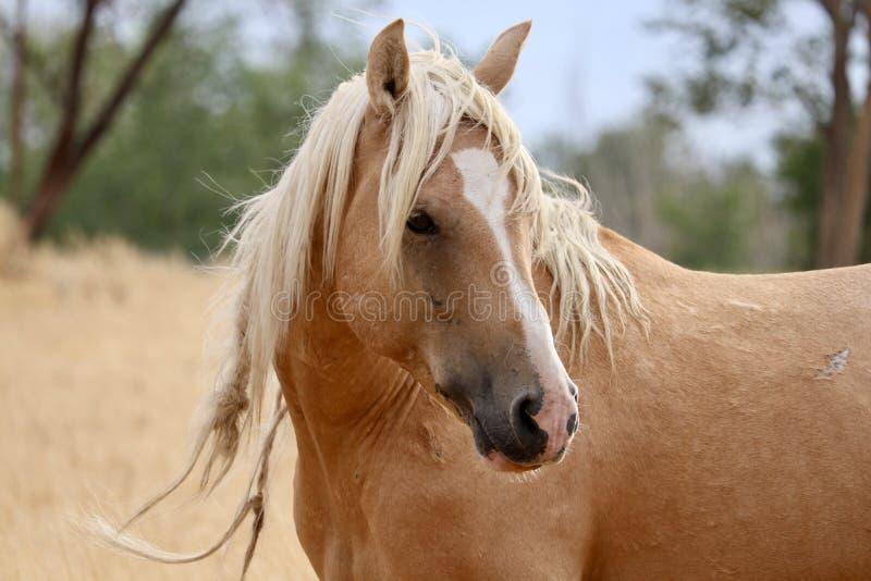 Wild und geben Sie eine wilde amerikanische Mustangpferdenahaufnahme frei lizenzfreie stockfotos