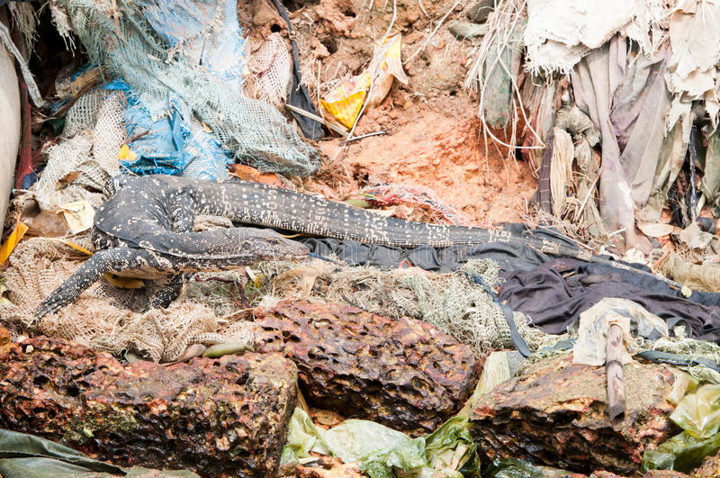 Wild Varanus Between Garbage Stock Photography