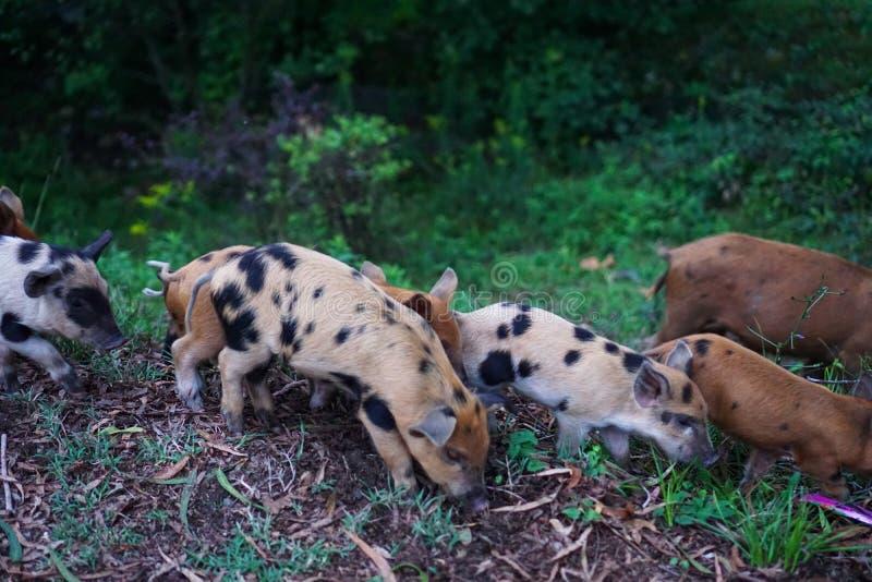 Wild varken met biggetjes die voedsel langs de weg zoeken stock fotografie