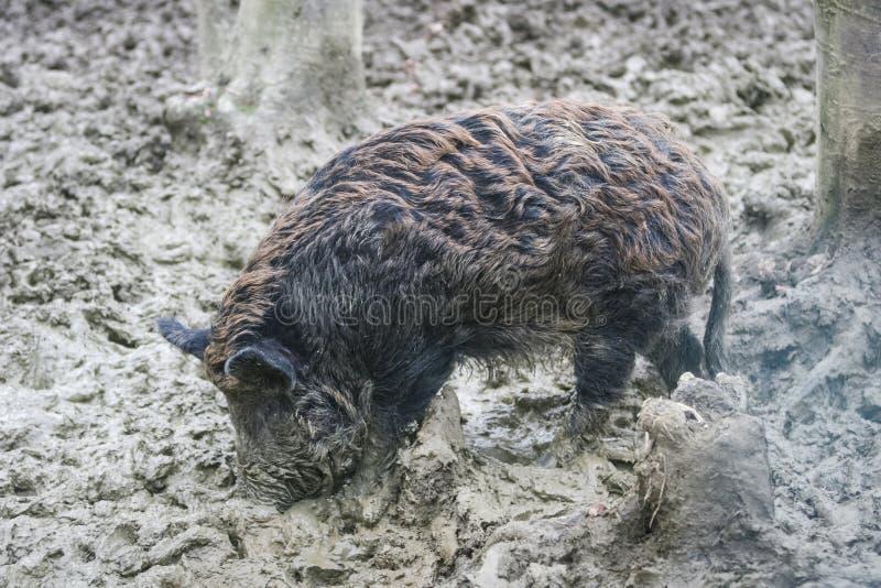 Wild varken in modder royalty-vrije stock afbeeldingen