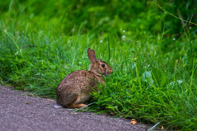 A wild and very cute rabbit royalty free stock photo